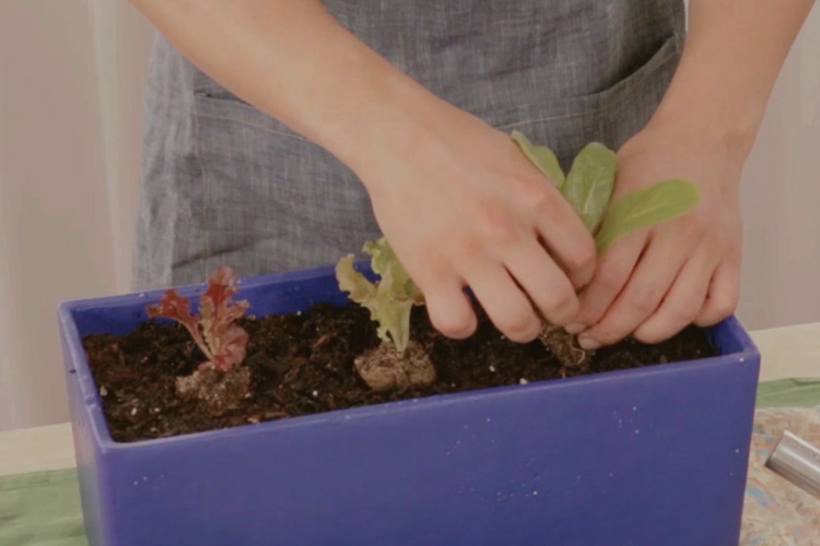 집에서 직접 상추 심는 법을 배워보자.::가드닝, 상추, 식물, 상추심기, 그린라이프, 파도식물, 화초가꾸기, 가드닝레시피, 루프탑의농신, 엘르, ELLE.CO.KR::