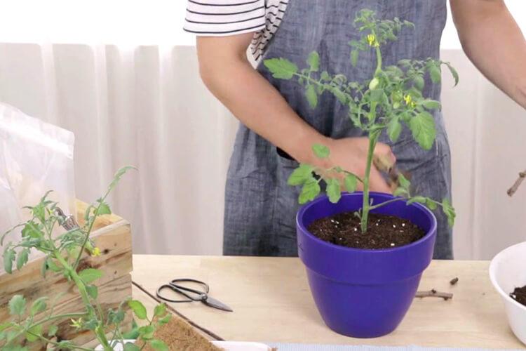 집에서 직접 방울토마토 심는 법을 배워보자::가드닝, 방울토마토, 식물, 그린라이프, 파도식물, 화초가꾸기, 가드닝레시피, 루프탑의농신, 엘르, elle.co.kr::