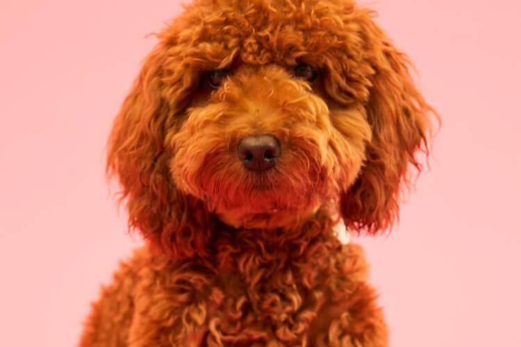 초보 개엄마를 위한 강아지 책 리스트::푸들, 반려견, 강아지책, 오보이, 개, 강아지, 에디터스, 김주연, 엘르, elle.co.kr::